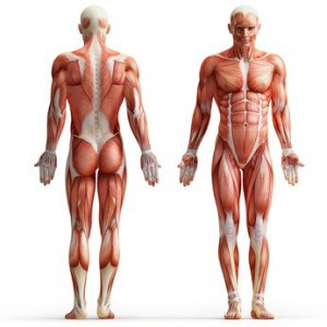 Anatomie Muskeln
