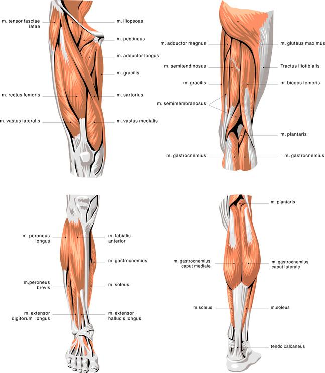 Beinmuskeln - Anatomie und Übungen für Muskelaufbau