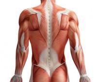 Rückenmuskeln © adimas - Fotolia.com
