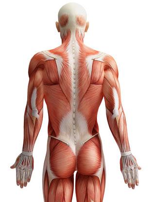 Rückenmuskeln - muskelpower.de